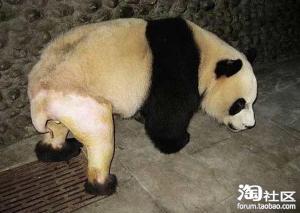 毛をそられたパンダ