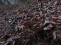 カタクリ盗掘の跡