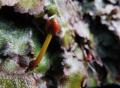 ジャゴケの雌器托