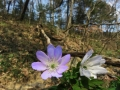 紫と白のキクザキイチゲ