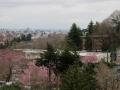 坂から見た桜