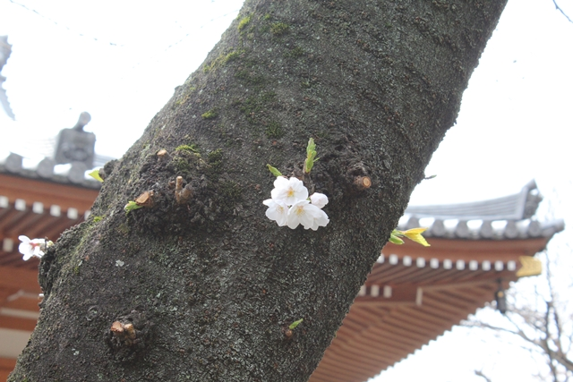 IMG_2489桜増上寺