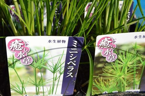 注水植物 (8)