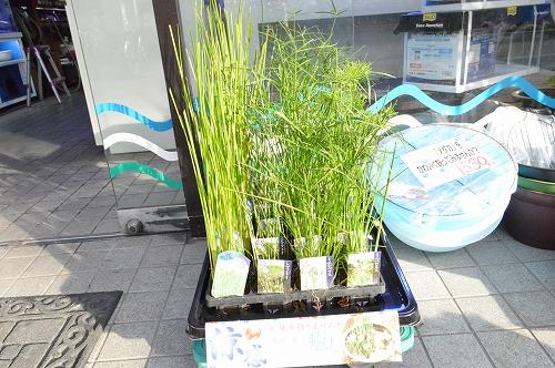 注水植物 (17)