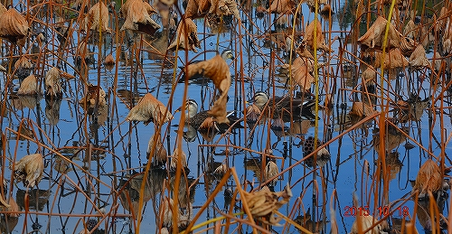 s-ハス沼の秋20151018