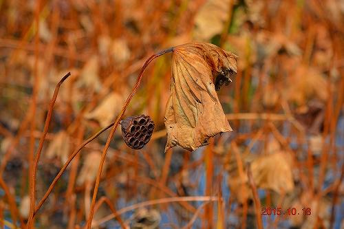 s-ハス沼の秋②20151018