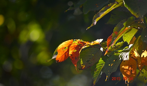 s-秋の陽をうけて⑫20151018