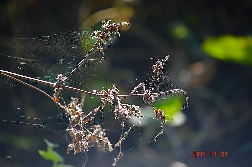 s-枯草と蜘蛛の巣20151101