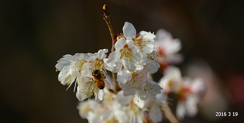 s-梅と蜂20160319