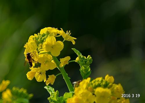 s-菜の花と蜂20160319