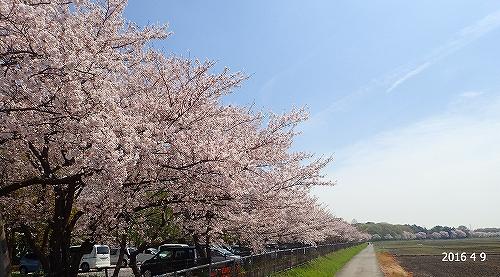 s-桜並木20160409