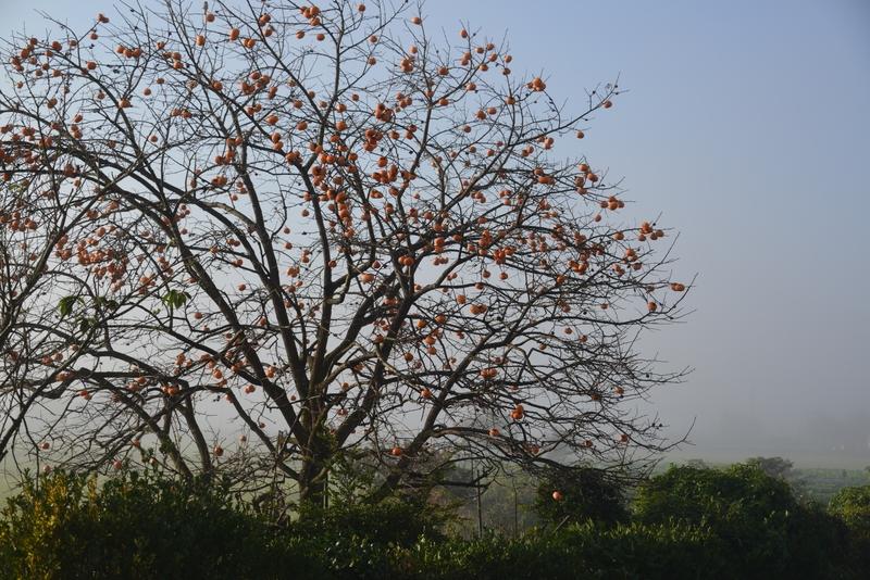朝霧の柿-2