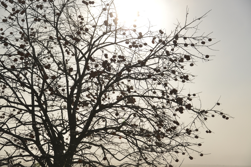 朝霧の柿-3