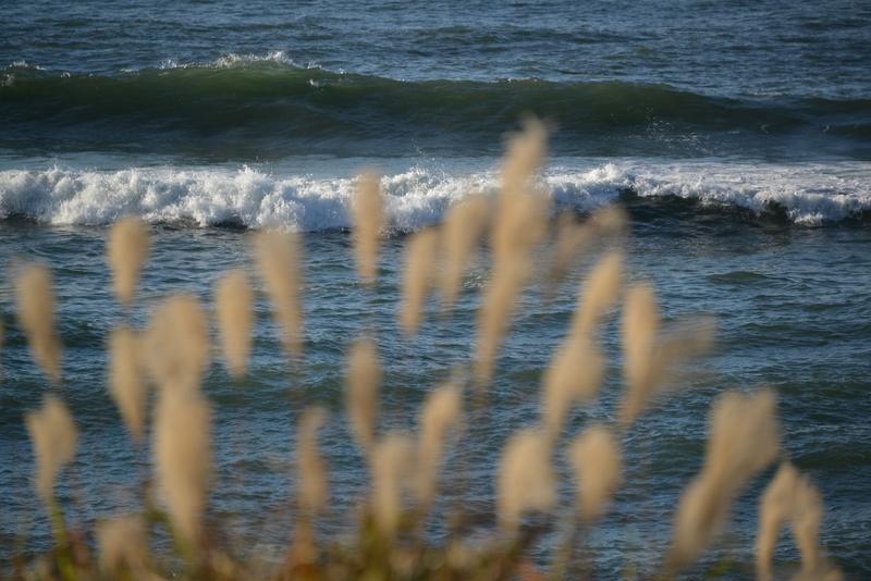 海辺のススキ-3