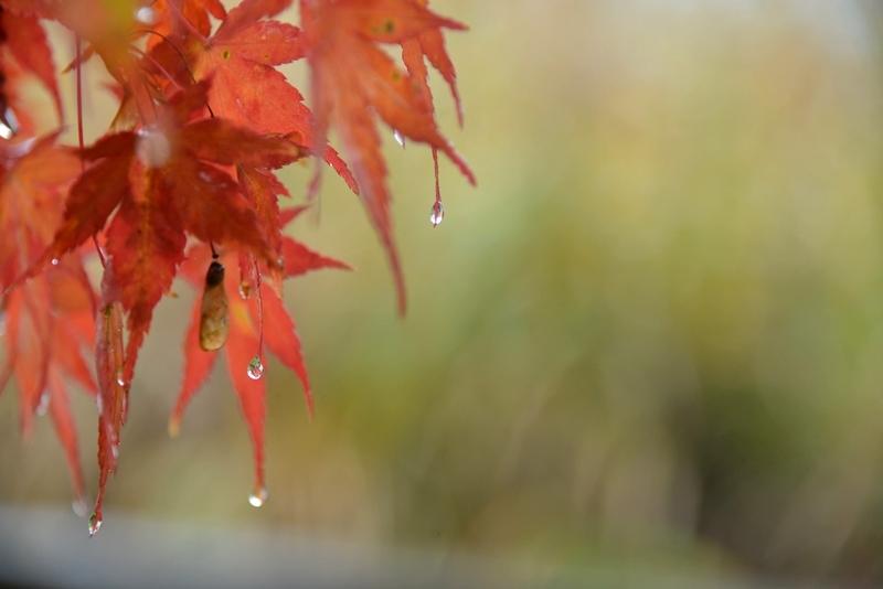 雨のもみじ-3