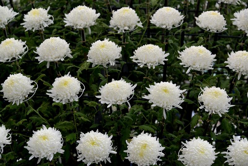 菊祭り-4