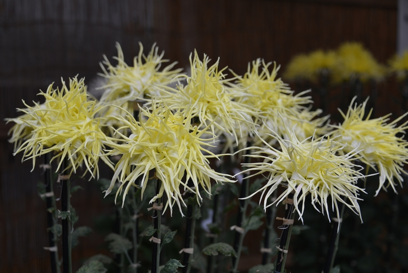 菊祭りの菊-1