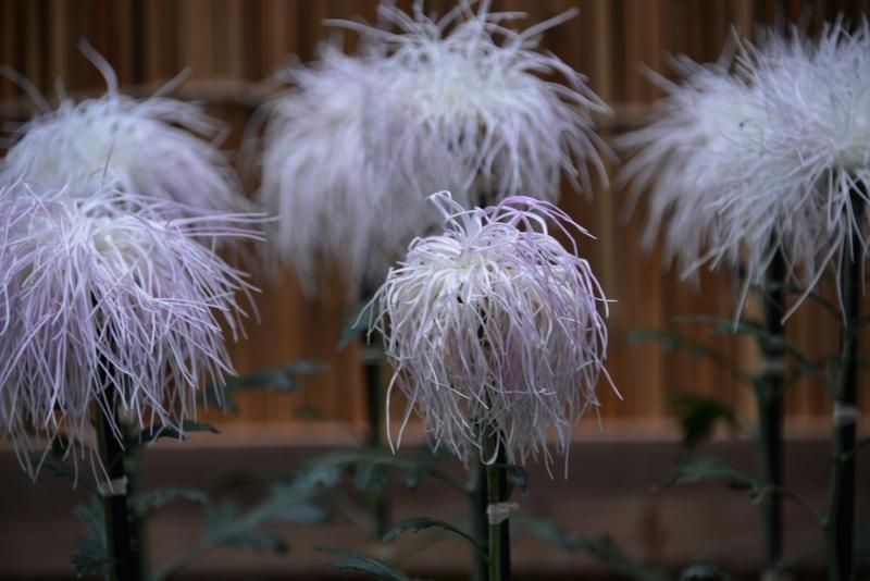 菊祭りの菊-3