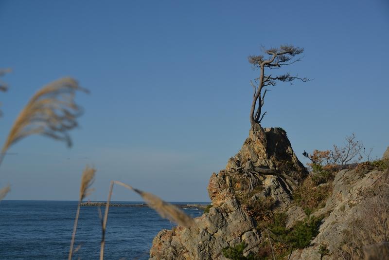 岩の上の松-3