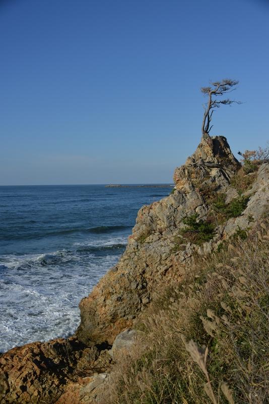 岩の上の松-4