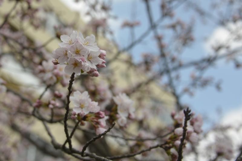 桜が咲いた-1