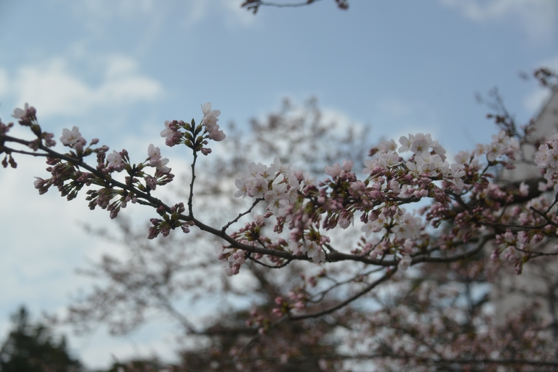 桜が咲いた-2
