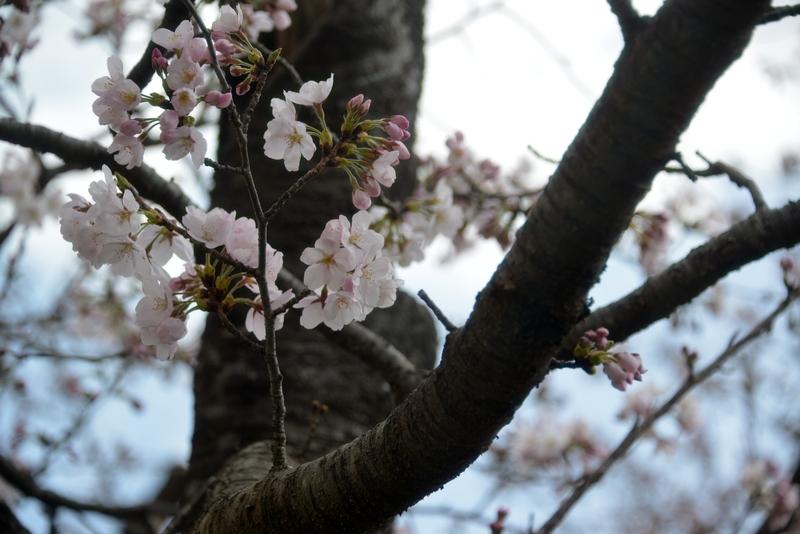 桜が咲いた-3