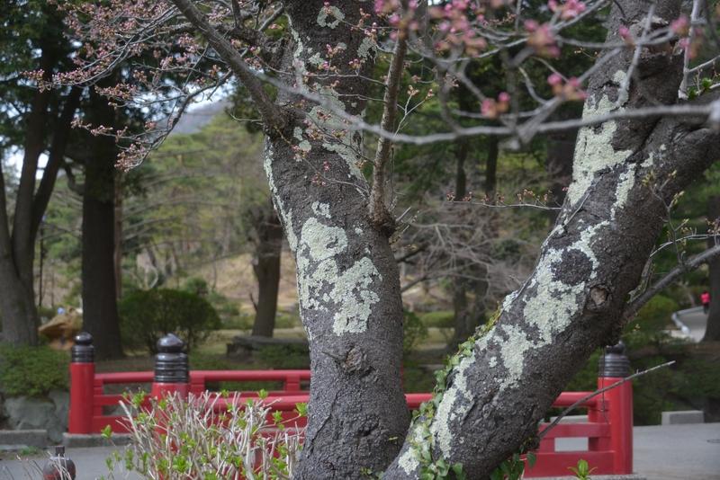 桜が咲いた-4