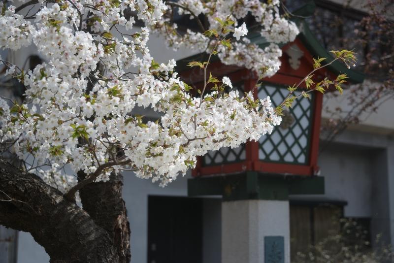 桜が咲いたⅡ-1