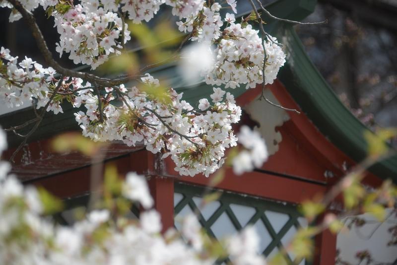 桜が咲いたⅡ-2