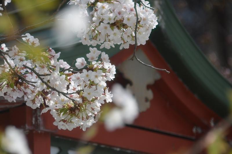 桜が咲いたⅡ-3