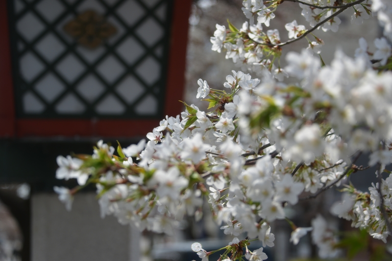 桜が咲いたⅡ-4