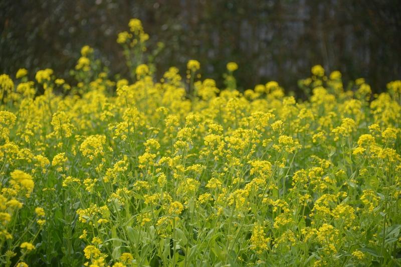 菜の花-1
