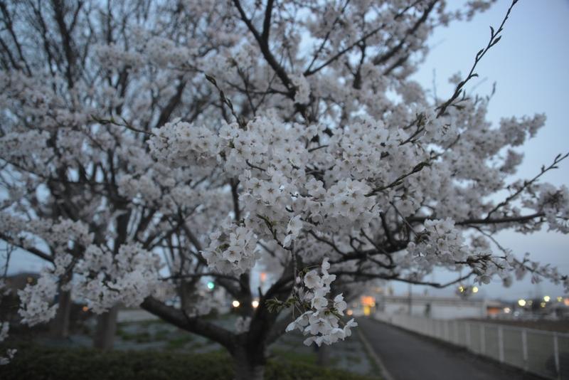 帰り道の桜-1