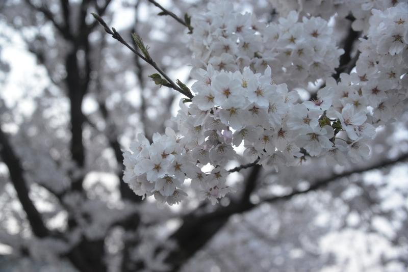 帰り道の桜-2