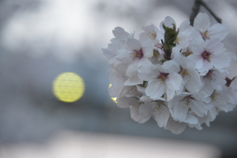 帰り道の桜-3