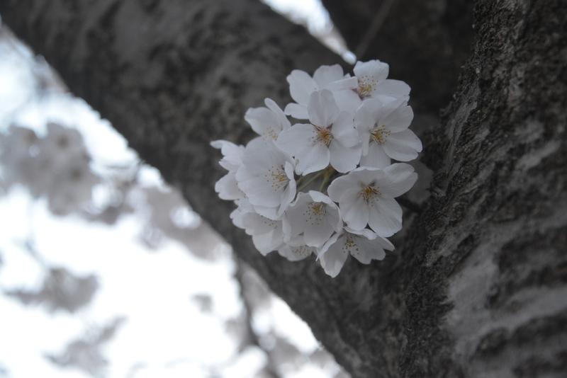 帰り道の桜-4