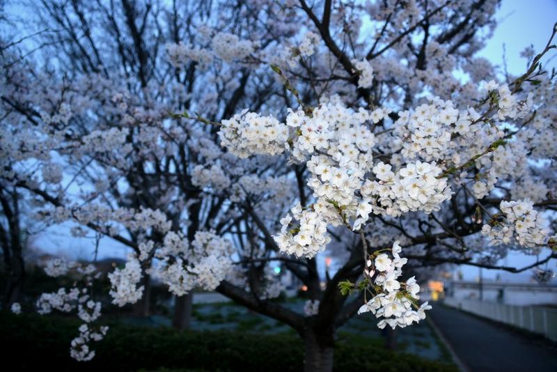 フラッシュ 桜-1