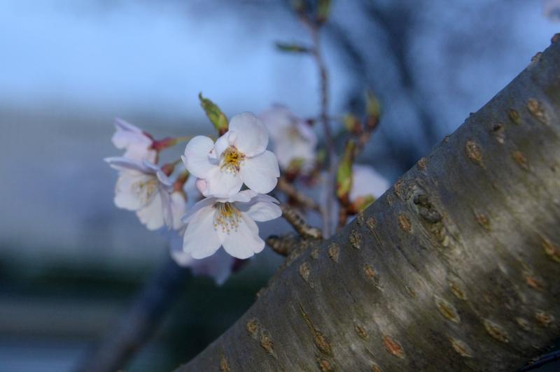 フラッシュ 桜-2