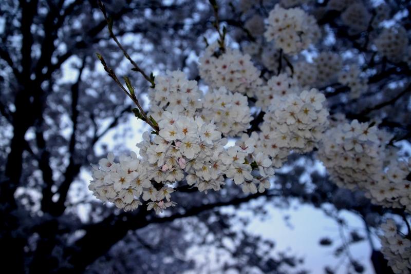 フラッシュ 桜-3