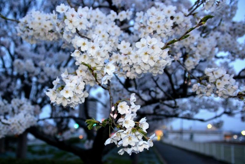 フラッシュ 桜-4