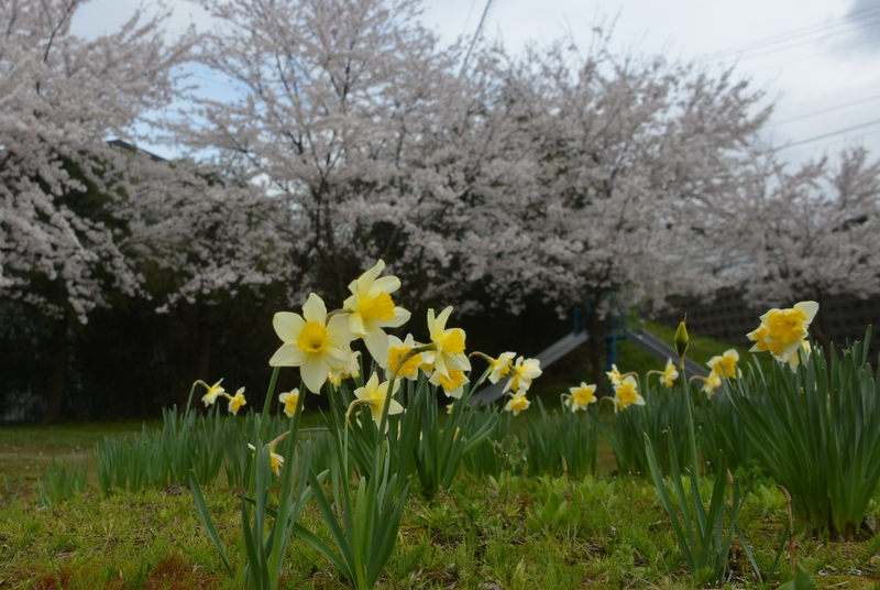 桜 小さな公園-1