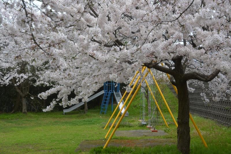 桜 小さな公園-2