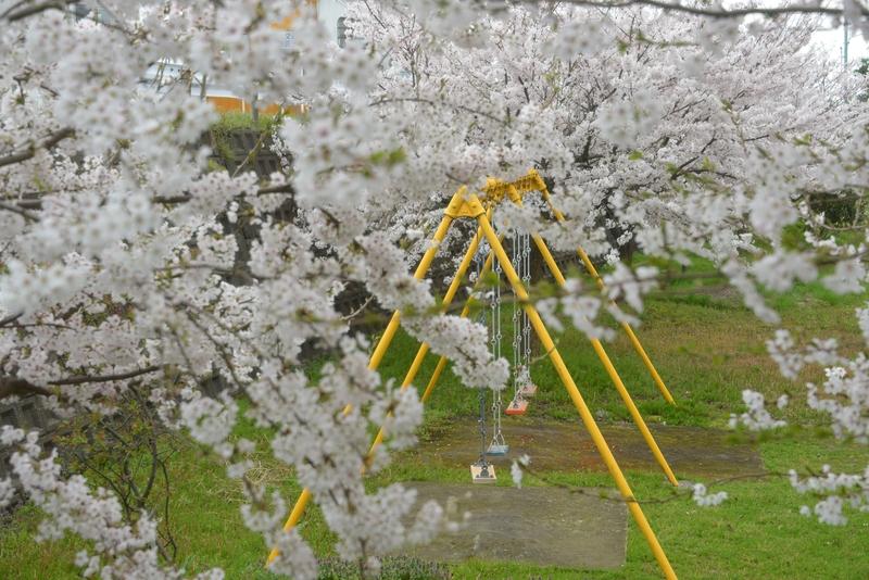 桜 小さな公園-3