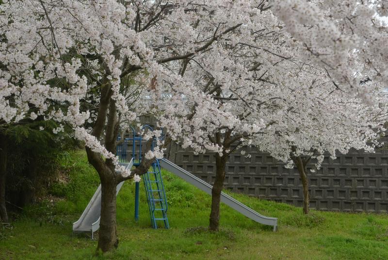桜 小さな公園-4