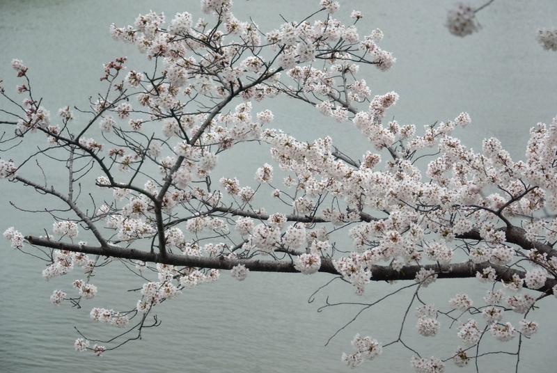 水辺の桜-3