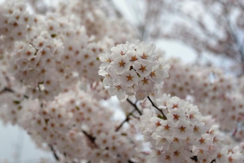 水辺の桜-4