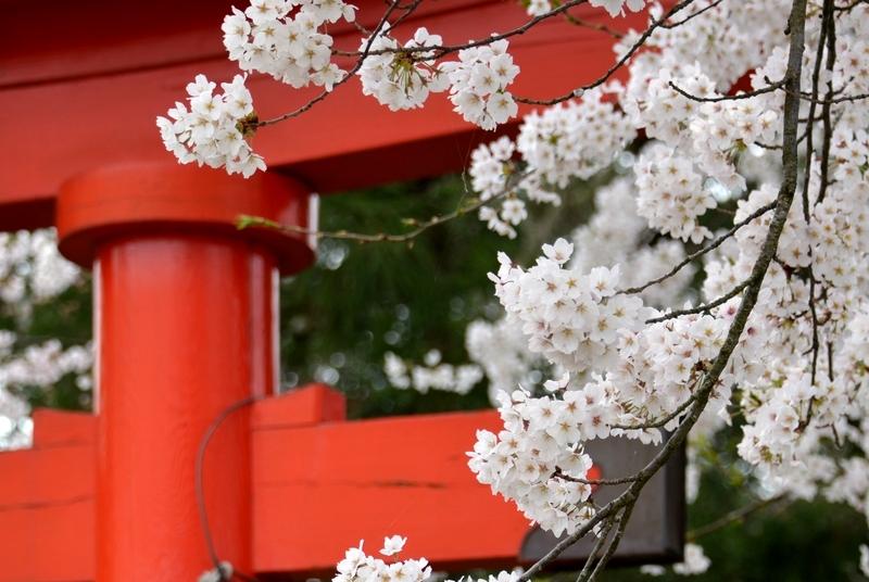 鳥居と桜-4