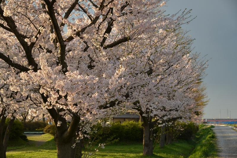 桜 夕陽を浴びて-1