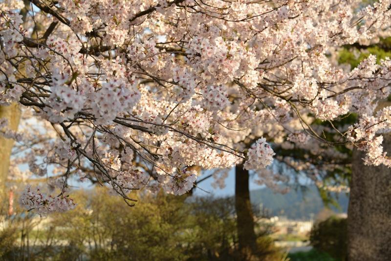 桜 夕陽を浴びて-2
